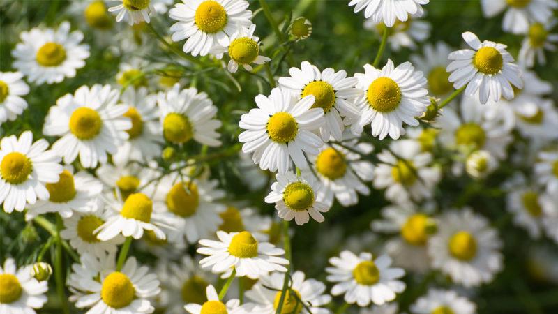 گیاهان با آلرژی زایی پایین
